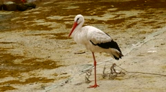 Pelican Standing on One Leg Stock Footage
