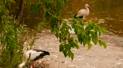 Pelicans by the Waters Edge - stock footage