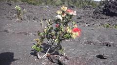 Life regeneration on volcanic landscape  Hawaii - stock footage