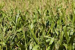 maize inflorescence  close-up. - stock photo