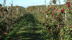 Apple garden full of riped red apples Stock Footage