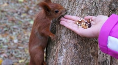 Red squirrel took the nut from hand and climbed up the tree. Stock Footage