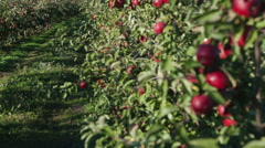 Several red apples hanging on the tree. Focus on the foreground - stock footage
