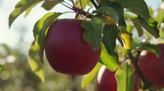 Composition with one ripe red apples, bunches of fresh, close-up - dolly motion Stock Footage