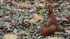 Red squirrel in the forest hides the nut between the leaves. Stock Footage