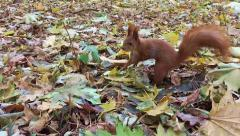 Red squirrel in the Park Stock Footage