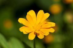 Calendula flower  close up - stock photo