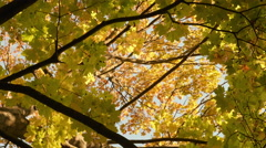 Colorful maple crown. Autumn daytime. Smooth dolly shot. Stock Footage