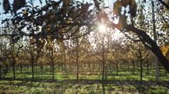The sun's rays pass through the garden with pears - stock footage