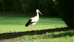 View of Elegant stork in green park Stock Footage