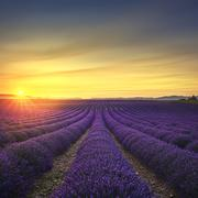 Lavender flower blooming scented fields in endless rows on sunset. Valensole - stock photo