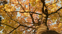 Gold maple crown. Autumn daytime. Smooth dolly shot. - stock footage