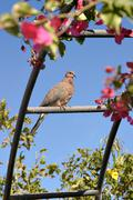 Dove sitting on a fence among the branches - stock photo