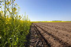 Agriculture . rapeseed field Stock Photos