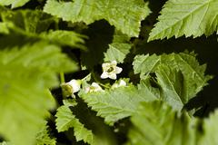 Blooming black currant Stock Photos