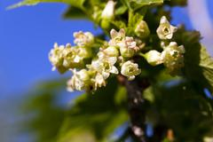 flowering of black currant - stock photo
