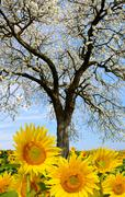Blooming cherry tree in sunflower field Stock Photos