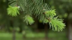 New growth on douglas fir tree - stock footage