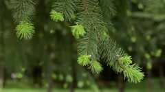 New growth on a douglas-fir tree Stock Footage