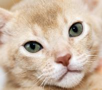 Abyssinian kitten . color fawn - stock photo