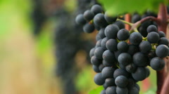 Bunches of red wine grapes hang from a lush green vine, rack focus Stock Footage