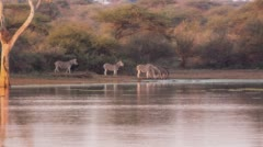 ZEBRAS DRINKING AT WATERHOLE AT DAWN SOUTH AFRICA Stock Footage