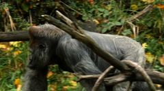 Stock Video Footage of Gorilla, Ape, Walk