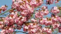 360 view of park with sakura tree Stock Footage