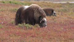 Musk Ox Feeding on Tundra in Fall Foliage Colors Stock Footage