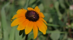 Black-eyed Susan Flower in Prairie with Insects Feeding Stock Footage