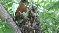 American Robin with Worm at Nest Feeding Chicks Stock Footage