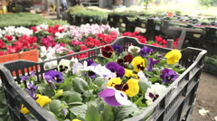 Viola flowers in a nursery dolly in - stock footage