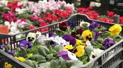 Viola flowers in a nursery dolly CU - stock footage