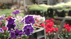 Viola flowers in a nursery container - stock footage