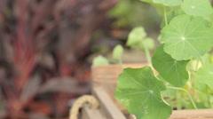 Tropaeolum majus plant Stock Footage