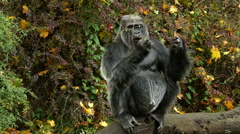 Gorilla, Ape, Eating, Sitting - stock footage