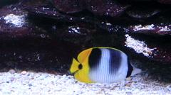 Black wedged Butterflyfish Stock Footage