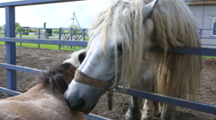 Percheron horse and Shetland pony love each other Stock Footage