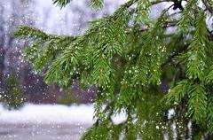 Branches of pine with drops and falling wet snow Kuvituskuvat