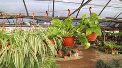 Plants hanged in greenhouse - stock footage