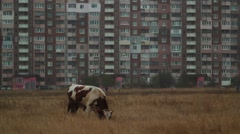 Cow Eating Grass Near the Building in the Evening Autumn City Stock Footage