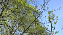 First tulip tree twig with leaves and buds in spring time. 4K Stock Footage