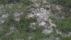 Peregrine Falcon ( Falco peregrinus) plucking prey on cliff face - stock footage