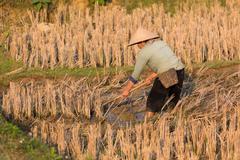 Farmers in rice field Kuvituskuvat