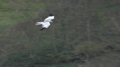 Hen Harrier (Circus cyaneus)  male slow motion flying Stock Footage