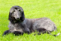 Typical black Afghan Hound on a green grass lawn Stock Photos