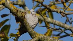 Eurasian Collared Dove. Blue sky - 4K Stock Footage