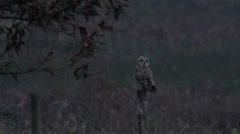 Short Eared Owl  (Asio flammeus ) sitting fence post at dusk Stock Footage