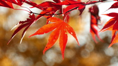 amur maple acer ginnala in autumn - stock footage