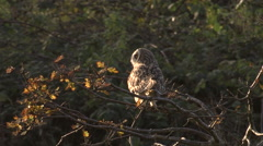 Short Eared Owl  (Asio flammeus ) perched in tree then flies off Stock Footage